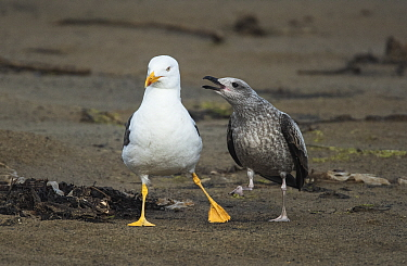 Lesser black-backed gull (Larus fuscus)  with juvenile begging for food. Druridge Pools Nature Reserve, Northumberland, England, UK. August.