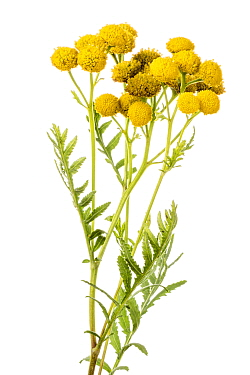 Common tansy (Tanacetum vulgare), B�chelberg, Pfalz, Germany. September. Meetyourneighbours.net project