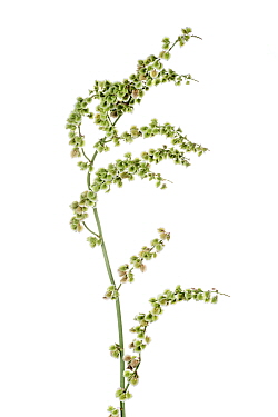 Common sorrel (Rumex acetosa), B�chelberg, Pfalz, Germany. May. Meetyourneighbours.net project