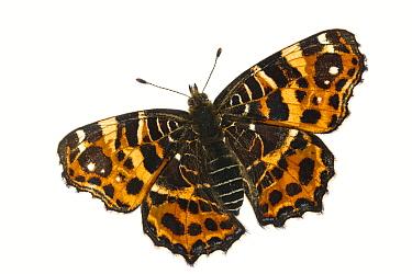 Map butterfly (Araschnia levana), Lorsch, Hessen, Germany. Meetyourneighbours.net project