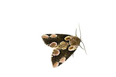 Peach blossom moth (Thyatira batis), Mechtersheim, Pfalz, Germany. July. Meetyourneighbours.net project