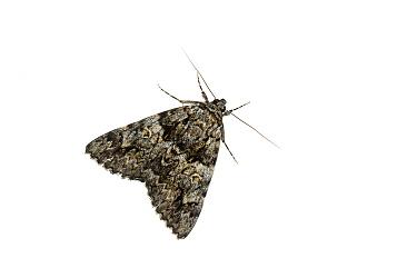 Light crimson underwing moth (Catocala promissa), Mechtersheim, Pfalz, Germany. July. Meetyourneighbours.net project