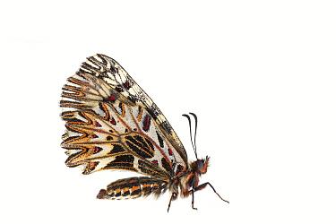 Southern festoon butterfly (Zerynthia polyxena), Lorsch, Hessen, Germany. May. Meetyourneighbours.net project
