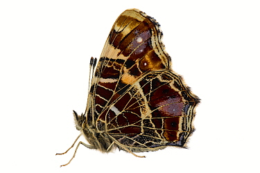 Map butterfly (Araschnia levana), Lorsch, Hessen, Germany. April. Meetyourneighbours.net project
