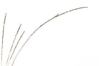 Rat's tail fescue grass (Vulpia myuros), Theisbergstegen, Germany. Meetyourneighbours.net project.