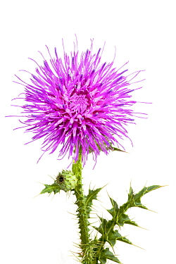 Welted thistle (Carduus acanthoides), Ludwigshafen, Germany. Meetyourneighbours.net project.