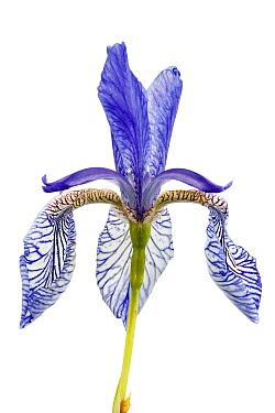 Close up of Siberian iris (Iris sibirica),  Lochbusch-K�nigswiesen Nature Reserve, Mitteltrumm, Germany. Meetyourneighbours.net project.