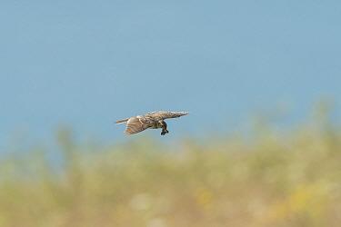 Skylark (Alauda arvensis) flying down to nest, Kent. July