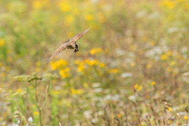 Skylark (Alauda arvensis) flying into its nest,  White Cliffs, Kent. July