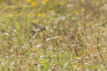 Skylark (Alauda arvensis) dropping into its nest,  White Cliffs, Kent. July