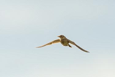 Skylark (Alauda arvensis) in flight, Kent. July
