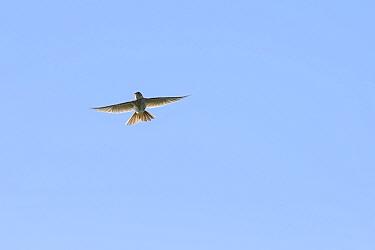 Skylark (Alauda arvensis) in sky near  White Cliffs, Kent. July