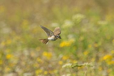 Skylark (Alauda arvensis) flying to its nest,  White Cliffs, Kent. July