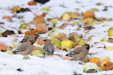 Waxwings (Bombycilla garrulus) feeding on windfall apples in snow, Norfolk, UK December