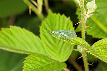 Green lacewing (Chrysopa perla) resting on leaf at the edge of woodland, Cheshire, UK, June.