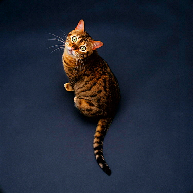 Domestic cat (Felis catus) female brown spotted bengal 'Rasha' viewed from above