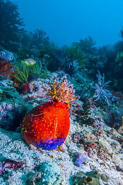 Sea apple (Pseudocolochirus violaceus) Komodo National Park, Indonesia.