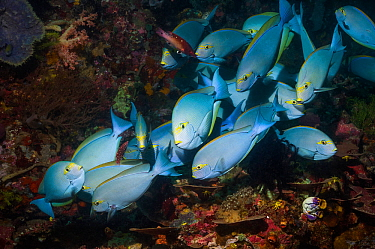 Elongate surgeonfish (Acanthurus mata) at a cleaning station with Diana wrasses (Bodianus diana).  Indonesia.