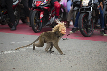 Crab eating macaque (Macaca fascicularis) used for Topeng Monyet (dancing monkeys). Wearing a doll mask and crossing the street, Bandung, Indonesia