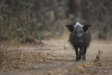 Bush pig (Potamochoerus larvatus) in South Luangwa NP, Zambia.