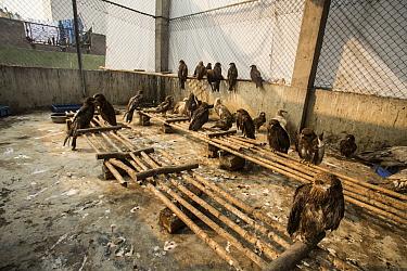 Black kites (Milvus migrans) in a soft release enclosure undergoing rehab, Delhi, India