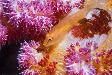 Soft-coral ghost goby (Pleurosicya boldinghi).  Lembeh Strait, North Sulawesi, Indonesia.
