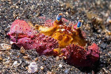 Box crab (Calappa  sp.).  Lembeh Strait, North Sulawesi, Indonesia.