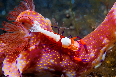 Emperor shrimp (Periclemenes imperator) on a nudibranch (Ceratosoma sp.)  Lembeh Strait, North Sulawesi, Indonesia.