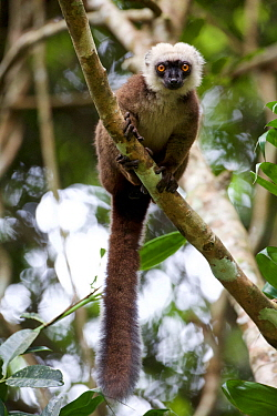 White-fronted brown lemur (Eulemur albifrons) in tree, Marojejy National Park,  Madagascar, December.