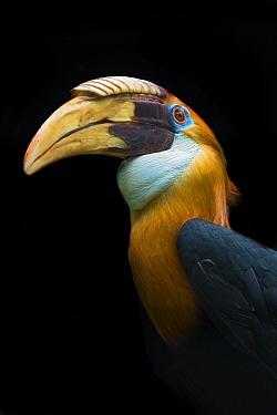 Papuan hornbill (Aceros plicatus) captive