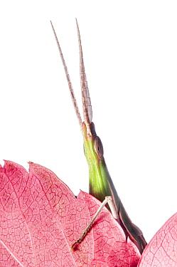Pointed-nose grasshopper (Acrida ungarica) climbing over leaf, Orvieto, Italy. October. Winner of portfolio Wildlife in the Garden-International Garden Photographer of the Year . Meetyourneighbours.n...