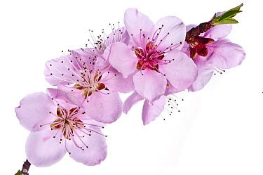 Peach blossom (Prunus persica) near Orvieto. Italy, March. Meetyourneighbours.net project