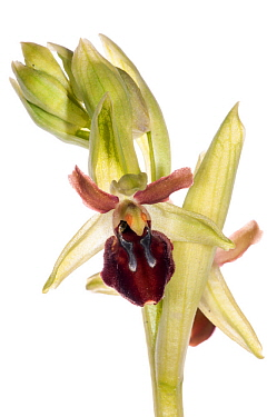 Early spider orchid (Ophrys sphegodes) in flower. Torrealfina nr Orvieto, Italy. April. Meetyourneighbours.net project