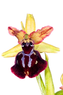 Orchid (Ophrys passionis /sphegodes ssp garganica) near Monte St Angelo, Gargano. Italy, April. Meetyourneighbours.net project