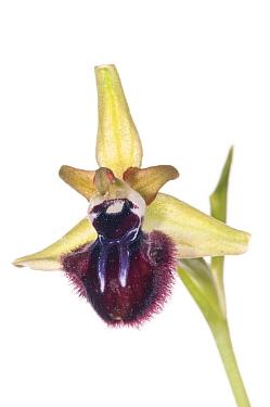Dark Ophrys (Ophrys incubacea / sphegodes atrata) in flower near Ferla, Sicily, May. Meetyourneighbours.net project