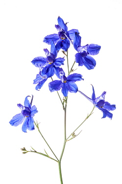 Forking Larkspur (Consolida regalis) in flower, near Orvieto, Umbria, Italy. June. Meetyourneighbours.net project