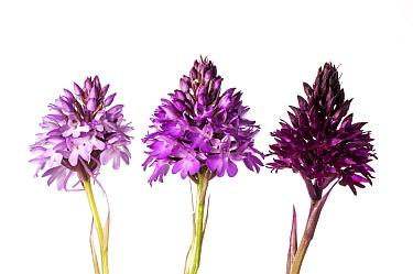 Pyramidal Orchid (Anacamptis pyramidalis) colour varieties. Sibillini, Umbria Italy, June. Meetyourneighbours.net project