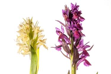 Elderflower Orchids (Dactylorhiza sambucina) purple and yellow forms, in the Simbruini Mountains, Lazio, Italy, June. Meetyourneighbours.net project
