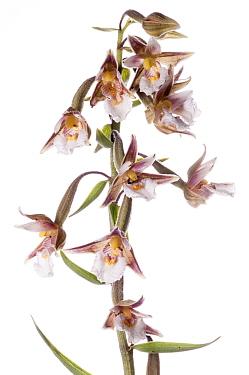 Marsh Helleborine (Epipactis palustris) in flower  Castelfiori, Umbria Italy, June. Meetyourneighbours.net project