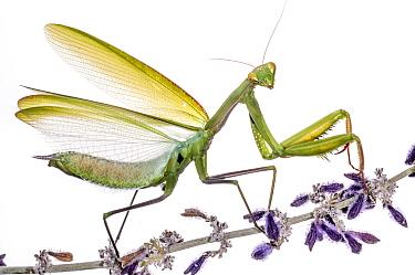 Praying Mantis (Mantis religiosa) defensive display. Orvieto, Italy. October Winner of portfolio Wildlife in the Garden-International garden photographer of the year awards. . Meetyourneighbours.net...
