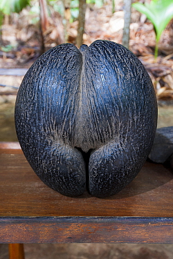 Seed of a Coco de mer palm tree (Lodoicea maldivica), the biggest seed in the plant kingdom. Vallee de Mai Nature Reserve and UNESCO World Heritage Site, Praslin Island, Republic of Seychelles