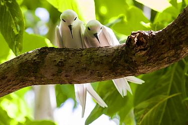 Fairy Tern (Gygis alba) pair, Cousin Island, Republic of Seychelles