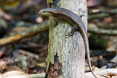 Wright`s skink (Mabuya wrightii), Cousin Island, Republic of Seychelles Vulnerable species
