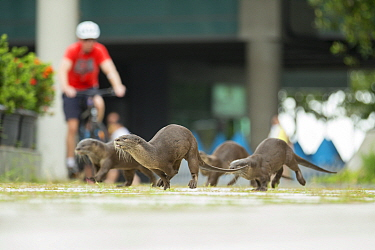 Smooth coated otter (Lutrogale perspicillate) group running across path, Singapore. November.