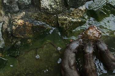 Smooth coated otters (Lutrogale perspicillate) feeding on turtle, Singapore. November.