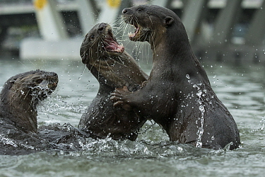 Smooth coated otters (Lutrogale perspicillate) fighting, Singapore. November.