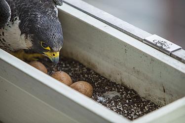 Peregrine falcon (Falco peregrinus) female with eggs, in nest in planter on balcony, Chicago, USA
