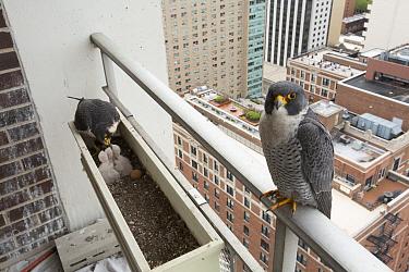 Peregrine falcon (Falco peregrinus) feeding chicks at nest in planter on urban balcony, Chicago, USA