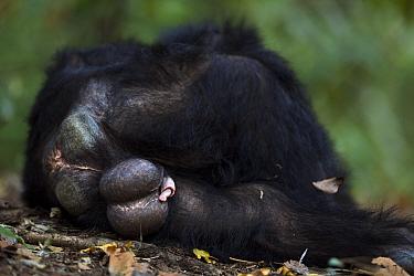 Eastern chimpanzee (Pan troglodytes schweinfurtheii) male 'Wilkie' aged 39 years resting - rear view. Gombe National Park, Tanzania.