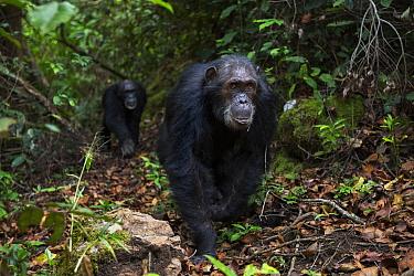 Eastern chimpanzee (Pan troglodytes schweinfurtheii) male 'Wilkie' aged 39 years walking along a trail. Gombe National Park, Tanzania. October 2012.
